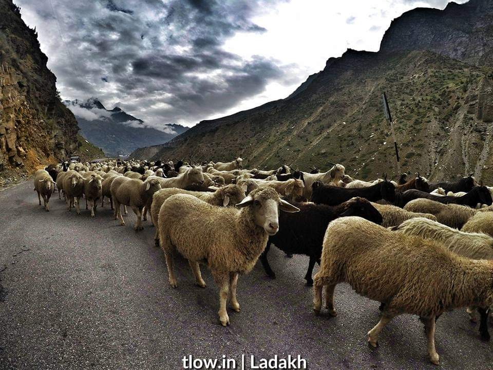 Sheep in Ladakh