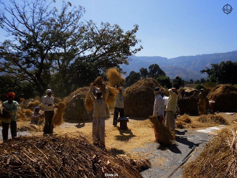 Husking of wheat in the village