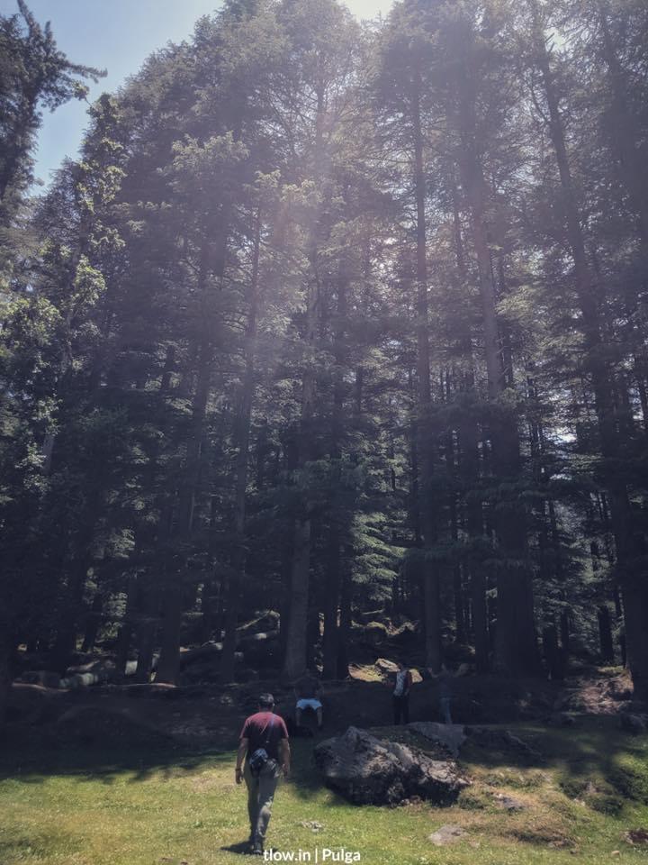 Pulga forest